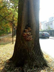 Pilzfruchtkörper Eiche - Baumpflege Stock