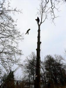Pappel Fällung Baumpflege Stock