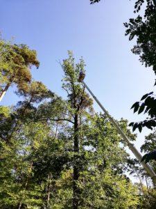 Kronenrückschnitt Baumpflege Stock