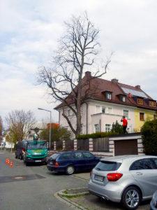 Kroneneinkürzung zum Erhalt des Baumes durch Baumpflege Stock